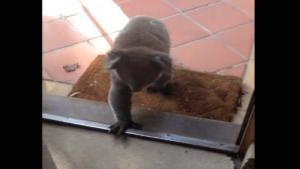 Koala Invites Itself Into House