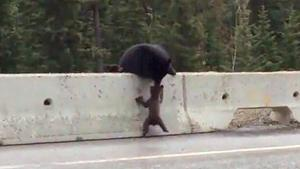 Mother Bear Rescues Baby From Road