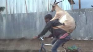 Transporting Goat