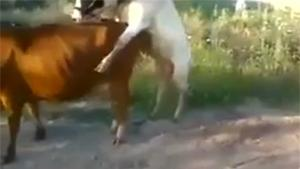 Mating Cow Fail