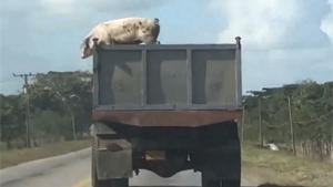 Pig's Escapes From Truck