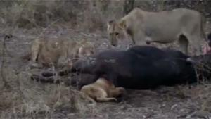 Lion Cub Gets Head Stuck In Anus