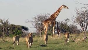 Giraffe Protects Calf From Hungry Lions