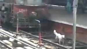 Dog Run Over By Train And Survives