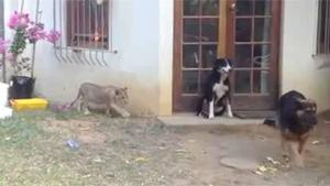 Sneaky Lion Startles Dog