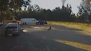 Rottweiler Saves Chihuahua From Coyote