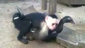 Monkey Raping Duck