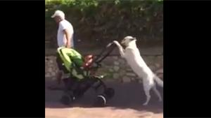 Dog Is Walking The Kid