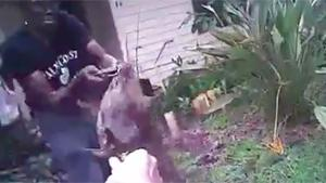 Attacking Pitbull Gets Tasered