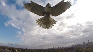 Hawk Takes Down Quadcopter
