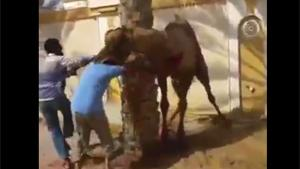 Camel Takes Revenge On Butcher