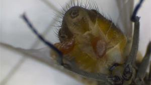 Parasites Eating Dead Fly