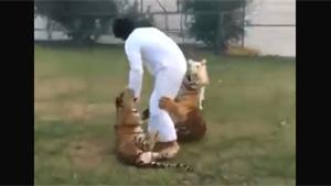 Tiger Bites Arab In Ass