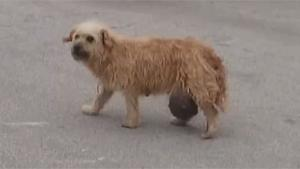 Dog With Big Balls