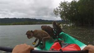 Pirate Monkeys Raid Kayaker