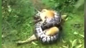 Dog Rescued From Giant Snake