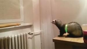 Hilarious Ferret Fail