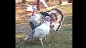 Spinning Turkey Gets Dizzy