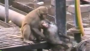 Monkey Resuscitates Friend