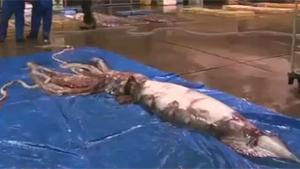 Giant Squid Caught In Japan