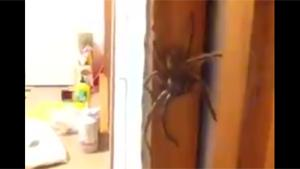 Little Girl Plays With Huge Spider