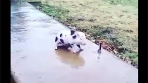 Little Piggy Sliding On Ice