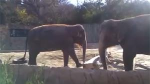 Elephant Rage In Zoo