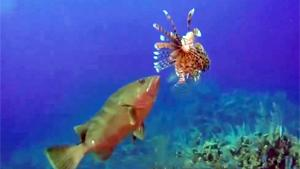 Grouper Eating Lionfish