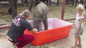 Baby Elephant Slips In Bathtub