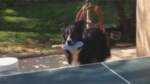 Dog Playing Ping Pong