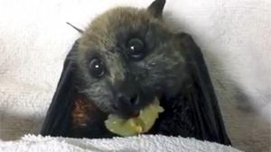 Bat Eating Grape