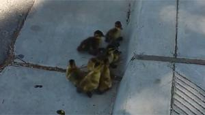 Baby Ducks Teamwork