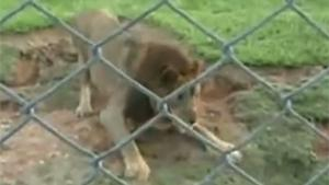 Circus Lion Gets Freed