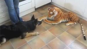German Sheperd VS Tiger