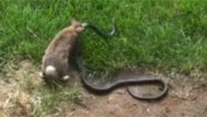 Mother Rabbit Attacks Snake