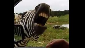 Marty The Zebra From Madagascar