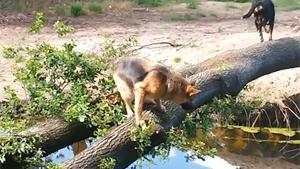 Dog Falls In Water