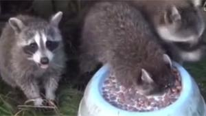 Baby Raccoon Loves Milk