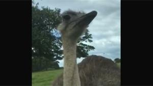 Ostrich Wants A Ride