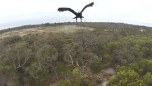 Eagle Takes Out Drone