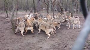 Wolf Pack Attacks Wolf
