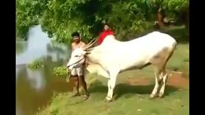 Cow Dives In River