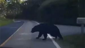 Bear Cub Hit Crossing Road
