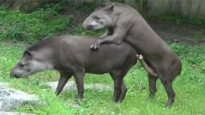 Tapir's Penis Is Too Big