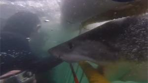 Bizarre White Shark Attack
