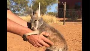Baby Kangaroo Finds New Mommy