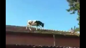 Cow Escaped From The Slaughterhouse