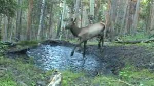 Young Elk Playing In Puddle