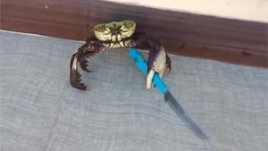 Crab Armed With Knife