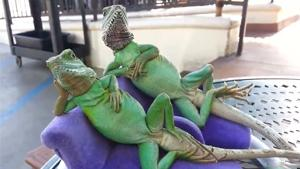 Chilling Lizards